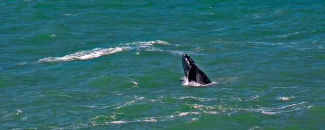 baleia-franca-670x268.png